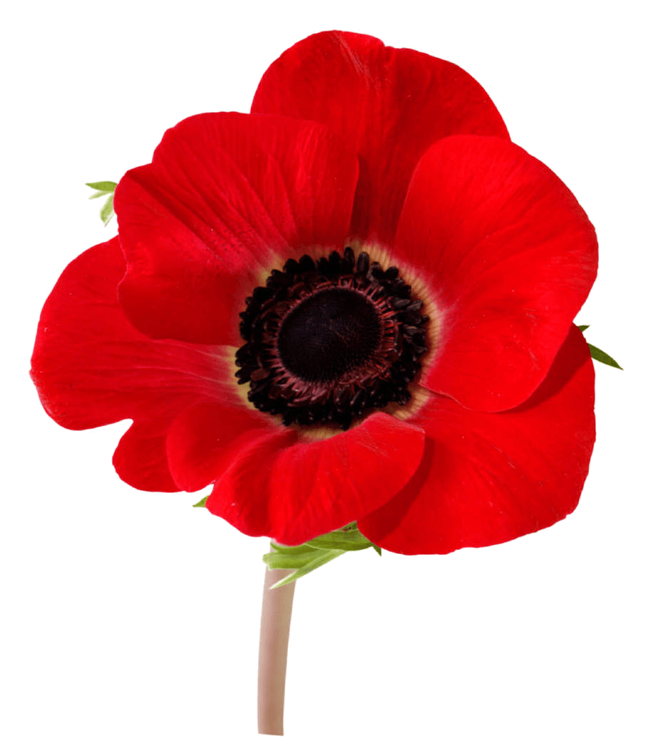 Flower Fields Flanders In Remembrance Poppy Red PNG Image