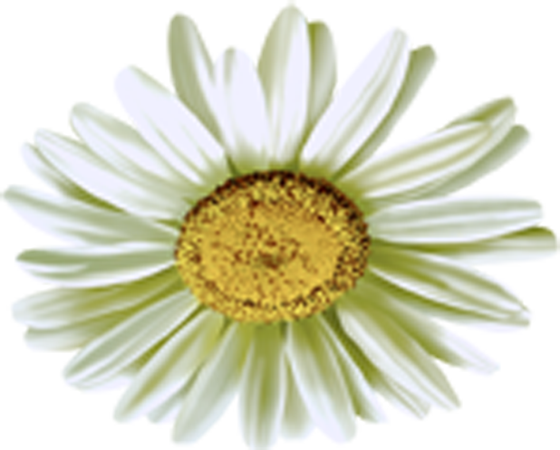 Camomile Flower PNG Image