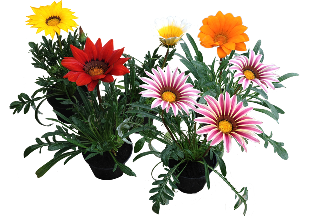Gazania Photos PNG Image