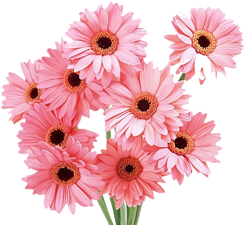 Gerbera Photos PNG Image