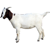 Download Goat Free PNG photo images and clipart | FreePNGImg