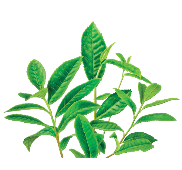 Green Tea Png Image PNG Image