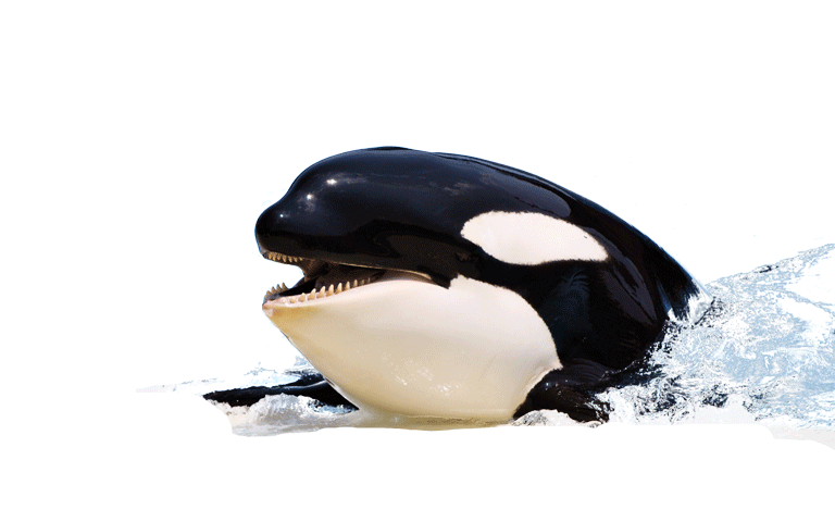 Killer Whale Picture PNG Image