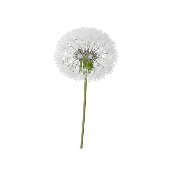 Colored Dandelion Image HQ Image Free PNG PNG Image