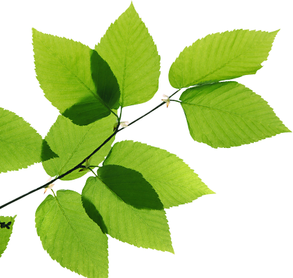 Real Leaves Transparent Image PNG Image