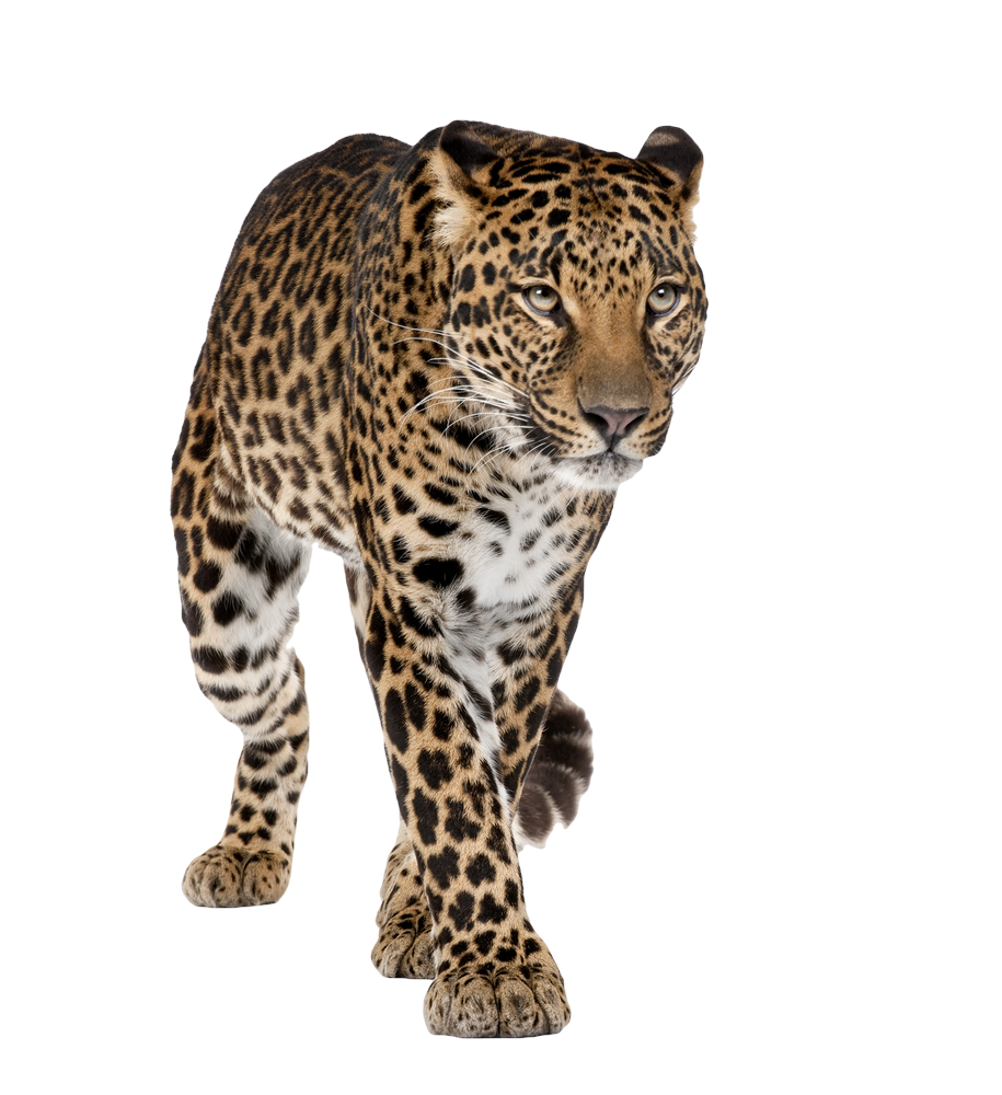 Leopard High-Quality Png PNG Image