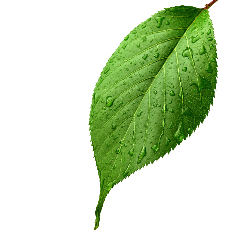 Leaf Apple Light Leaves Drop Dew Green PNG Image