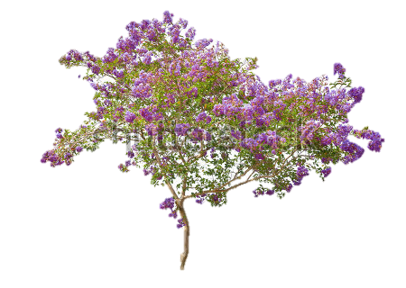 Lilac Free Download PNG Image