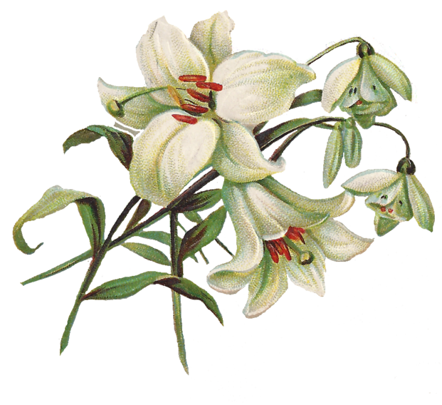 Lily Transparent Image PNG Image