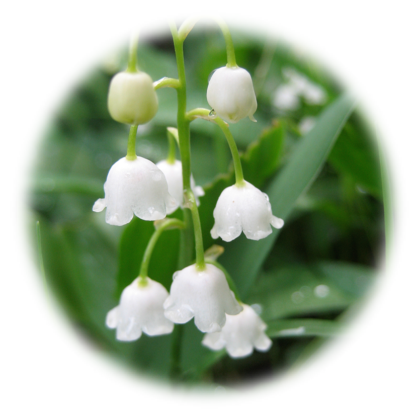 Lily Of The Valley Transparent Background PNG Image