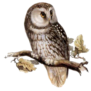 Owl Png PNG Image