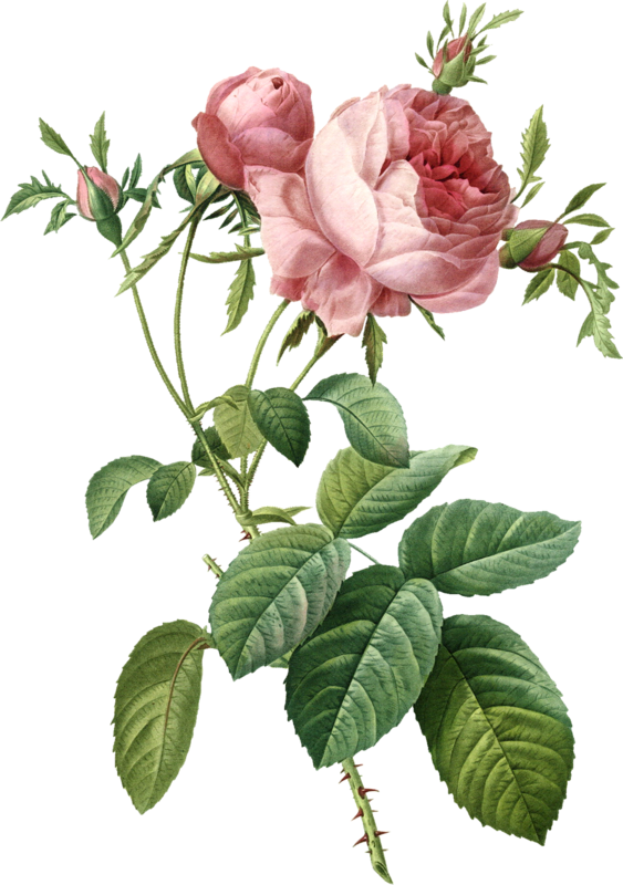 Roses Cabbage Flower Painting Rose Free Clipart HQ PNG Image