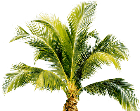 Palm Tree Png PNG Image