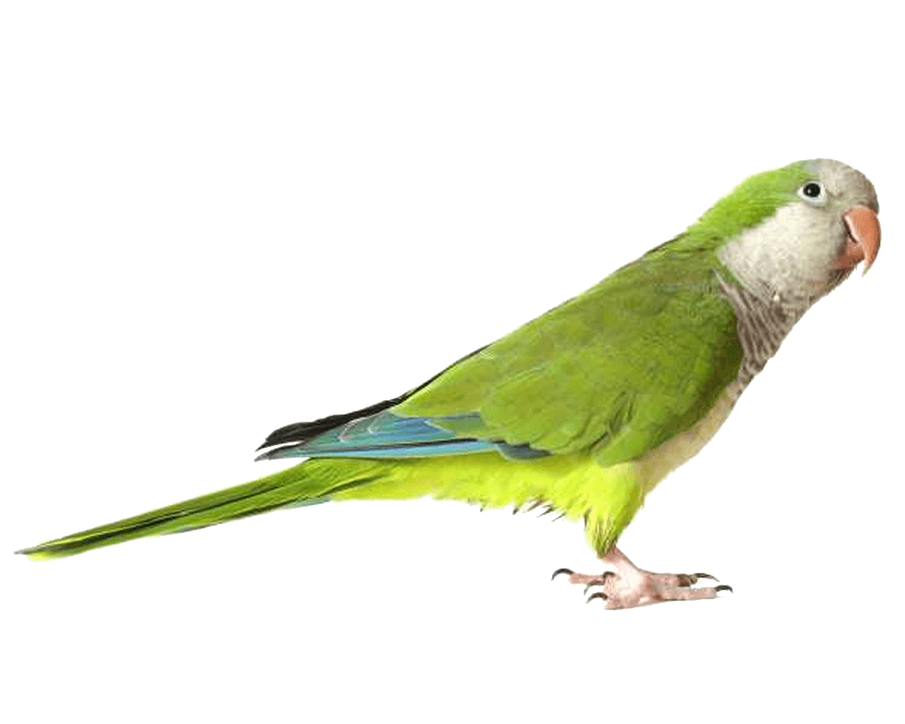 Green Parrot Png Images Download PNG Image