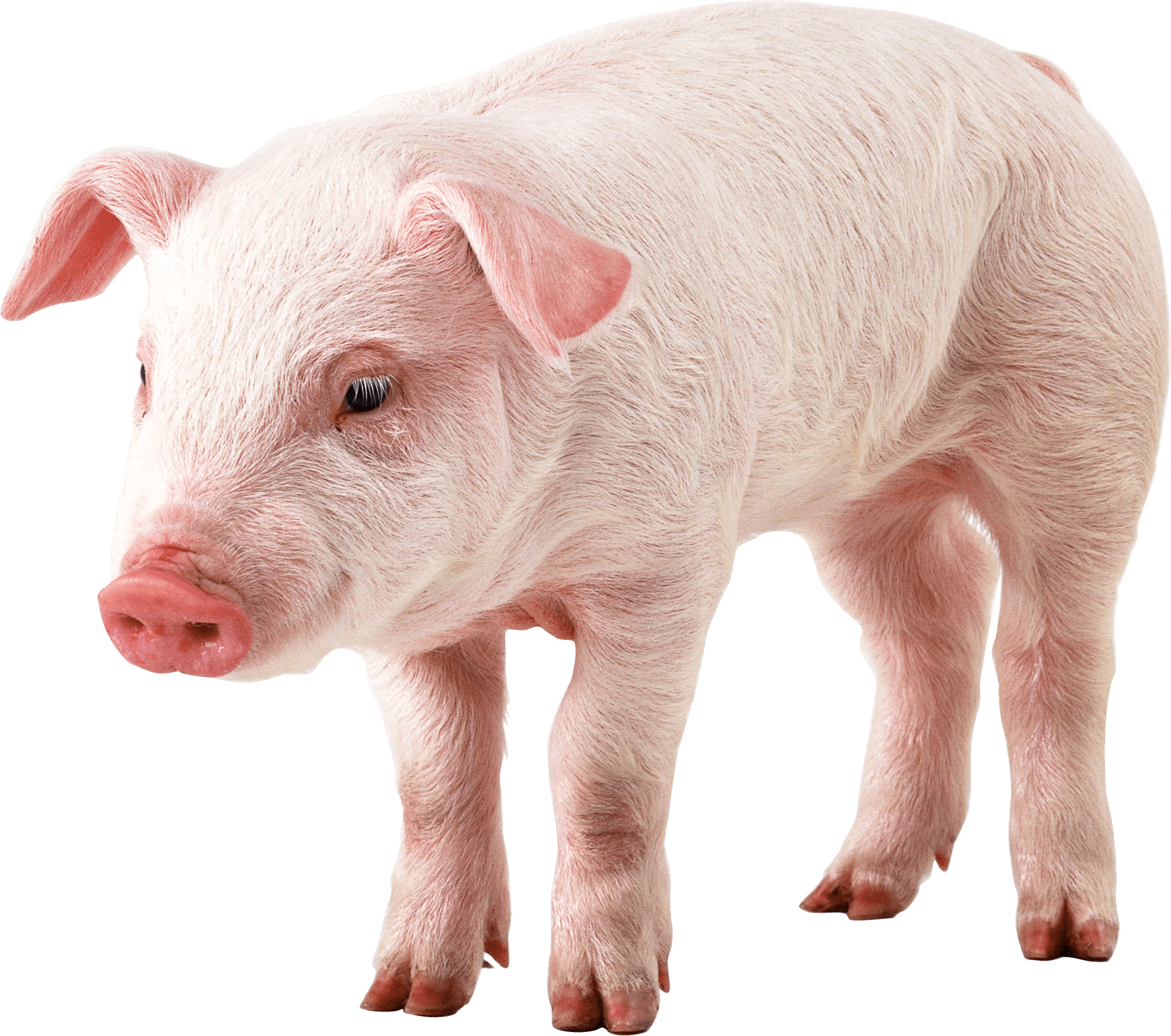 Свиньи картинки