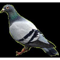 Pigeon Png Image<B>素材格式</B>: PNG<B>素材尺寸</B>: 584x538<B>檔案大小</B>: 74.9KB<B>推薦人數</B>: 885