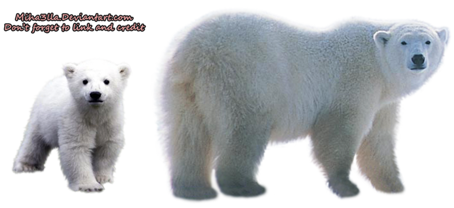 Polar Bear Transparent Background PNG Image