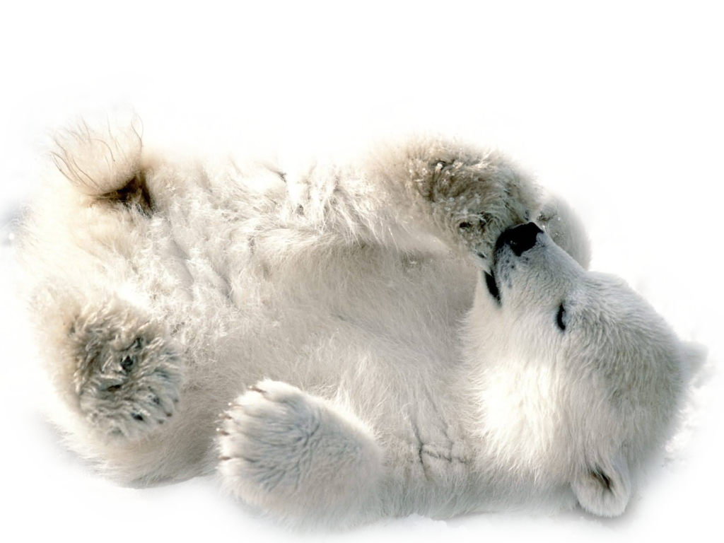 Polar Bear Transparent Image PNG Image