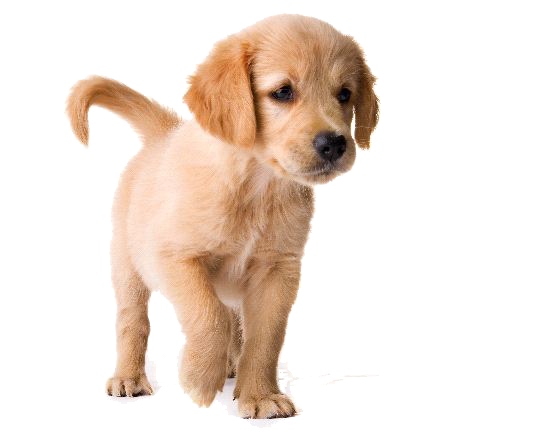 Golden Retriever Puppy Image PNG Image