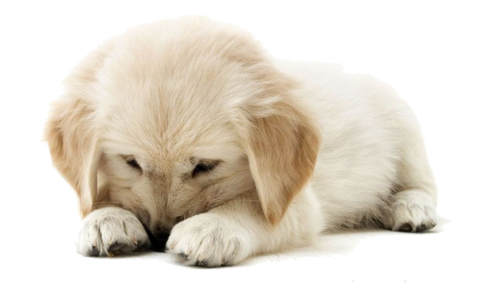 Golden Retriever Puppy Clipart PNG Image