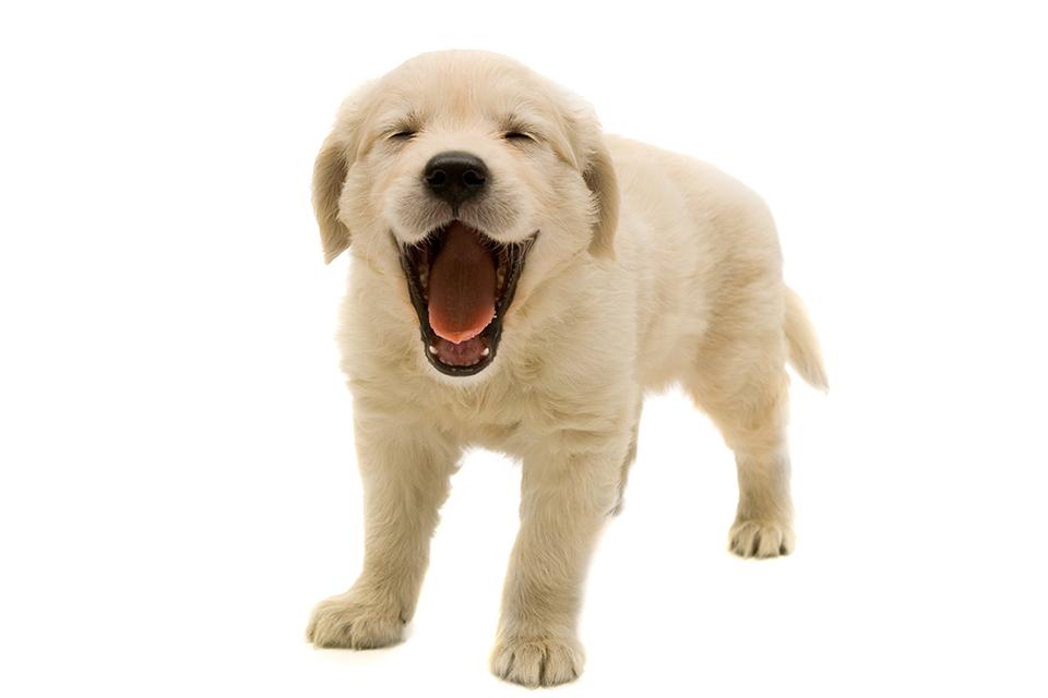 Download Golden Retriever Puppy Transparent Image Hq Png Image Freepngimg