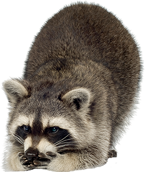 Raccoon Png Image PNG Image