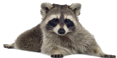 Raccoon Picture PNG Image