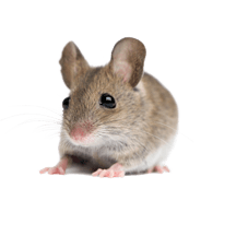 Little Mouse Rat Png Image PNG Image