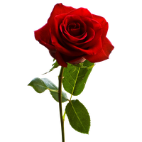 Download Rose Free PNG photo images and clipart