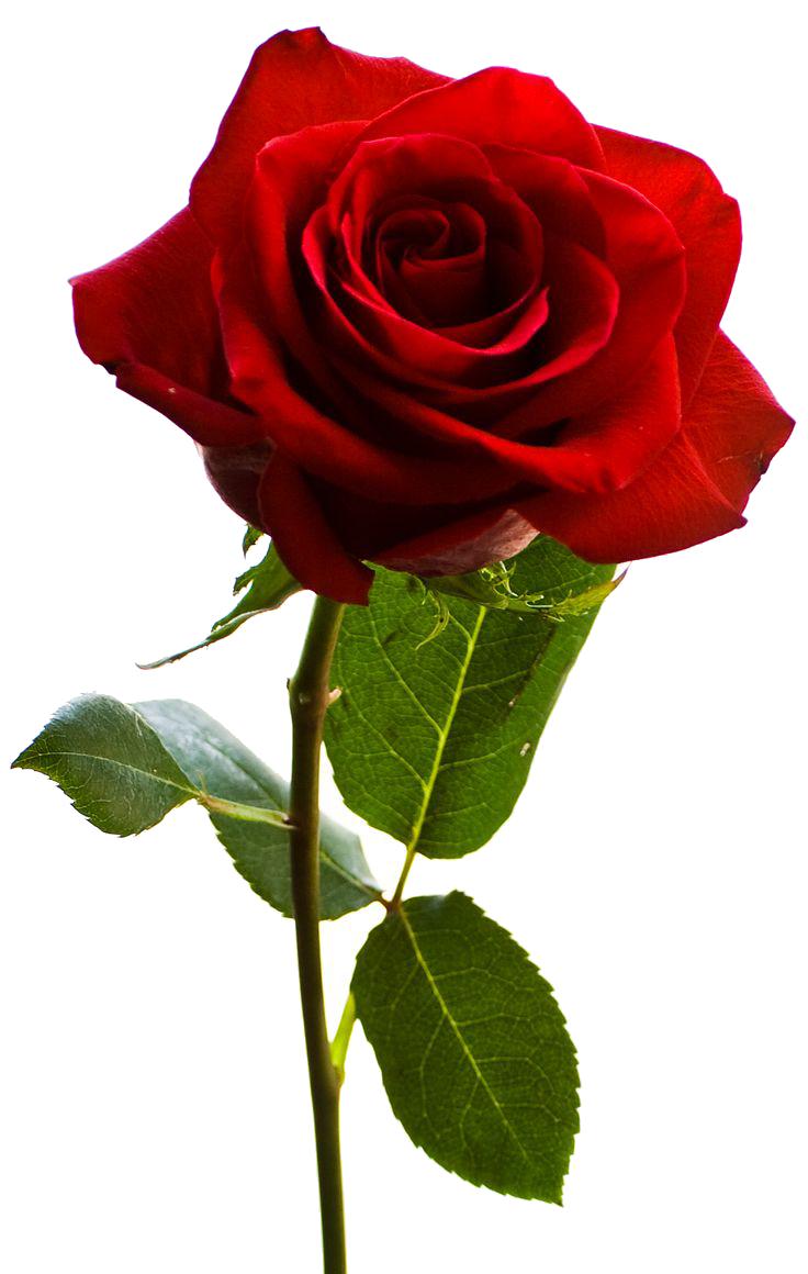 Download Rose Png Hq Png Image Freepngimg