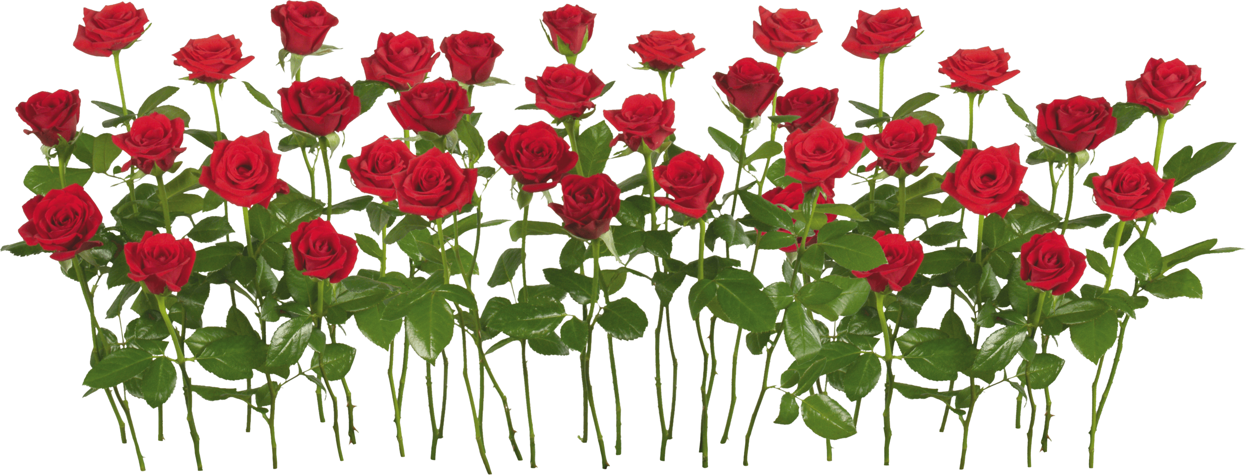 Rose Png Image Picture Download PNG Image