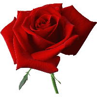 Download Rose Free Png Photo Images And Clipart Freepngimg