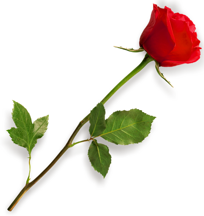 Single Red Rose Image PNG Image
