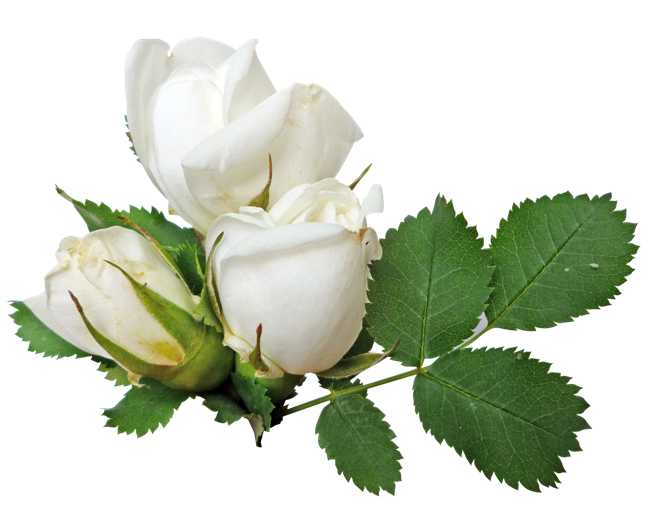 White Rose Transparent PNG Image