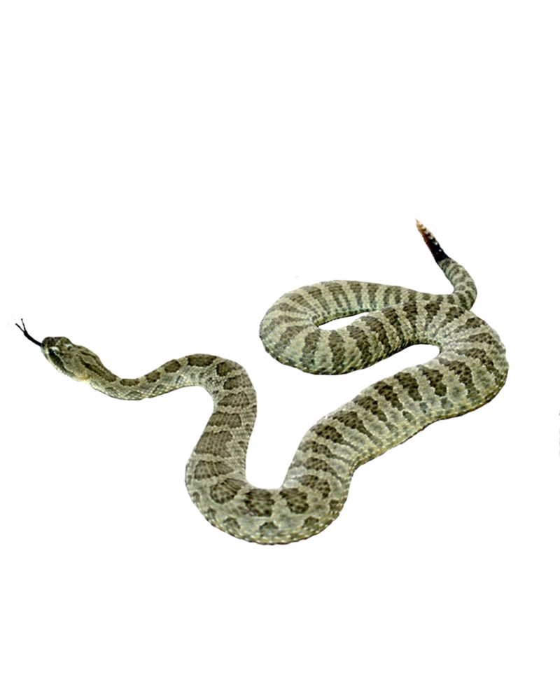 Snake Png Picture PNG Image