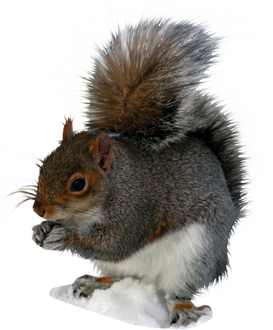 Squirrel Png Image PNG Image