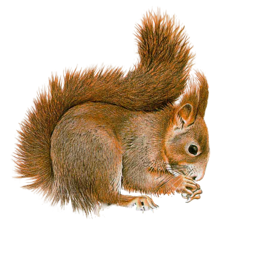 Squirrel Transparent PNG Image