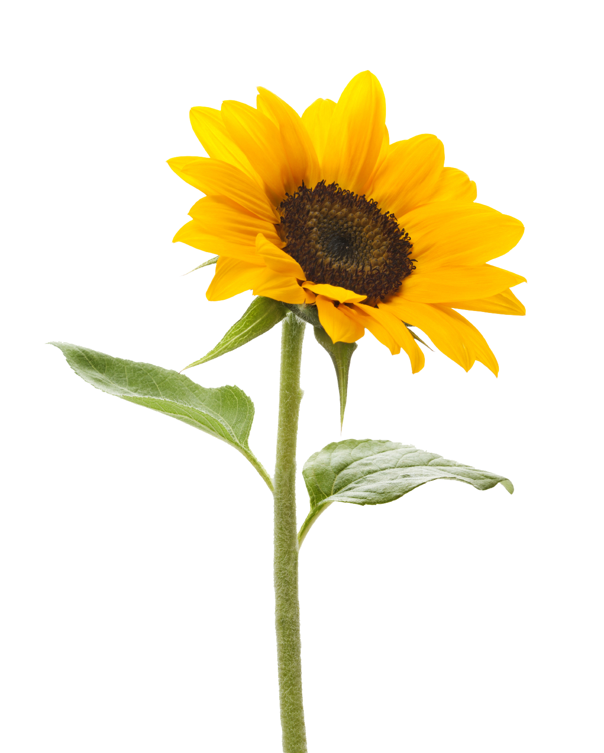 Sunflower Transparent Background PNG Image