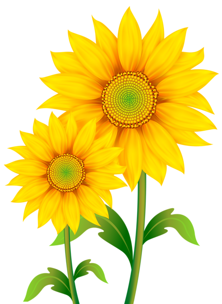 Sunflowers Png Pic PNG Image