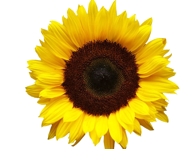 Sunflowers Png Image PNG Image