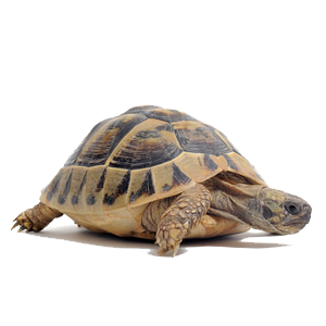 Tortoise Png Clipart PNG Image
