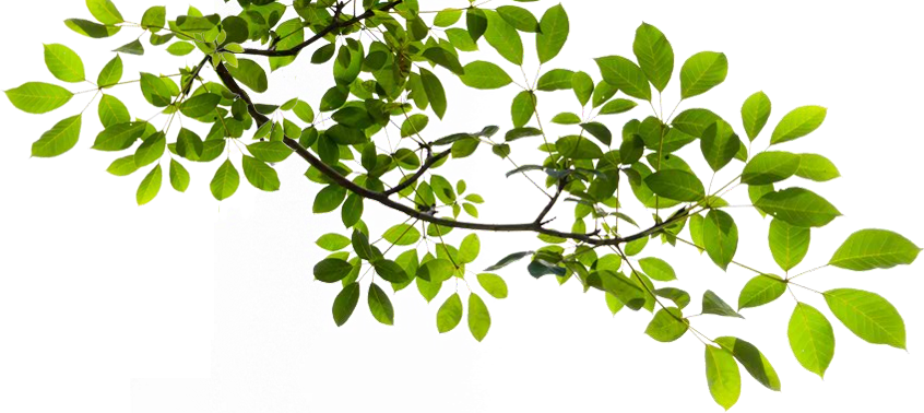 Tree Branch Transparent PNG Image