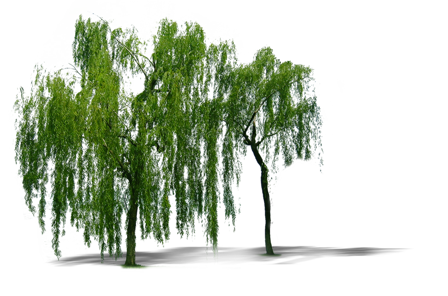 Plant Weeping Willow Tree Trees Computer File PNG Image