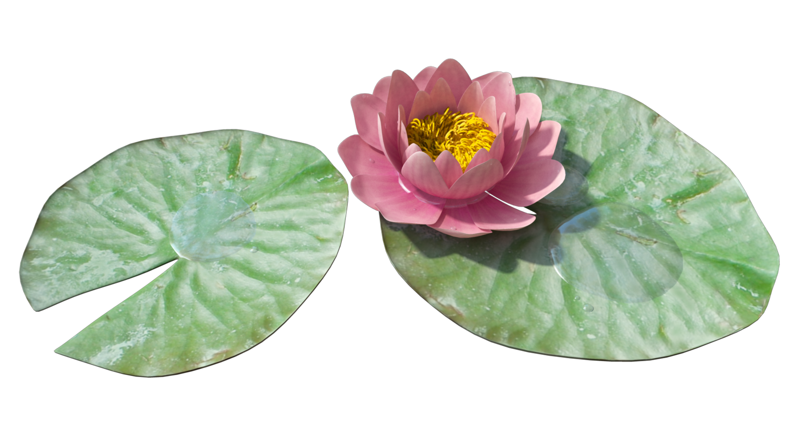 Water Lily Png Image PNG Image