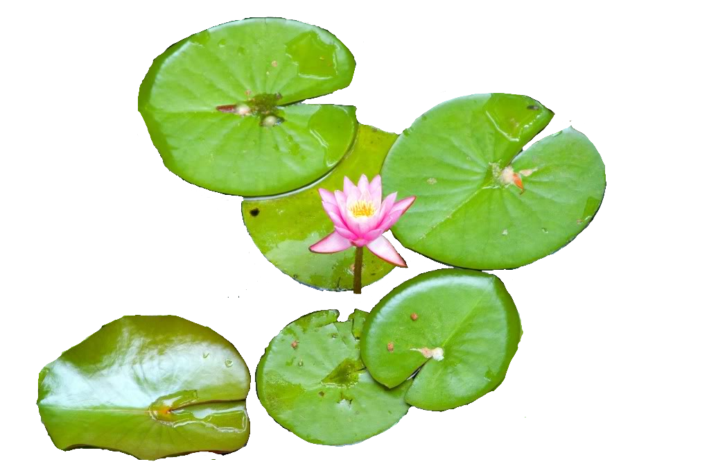 Water Lily Picture PNG Image