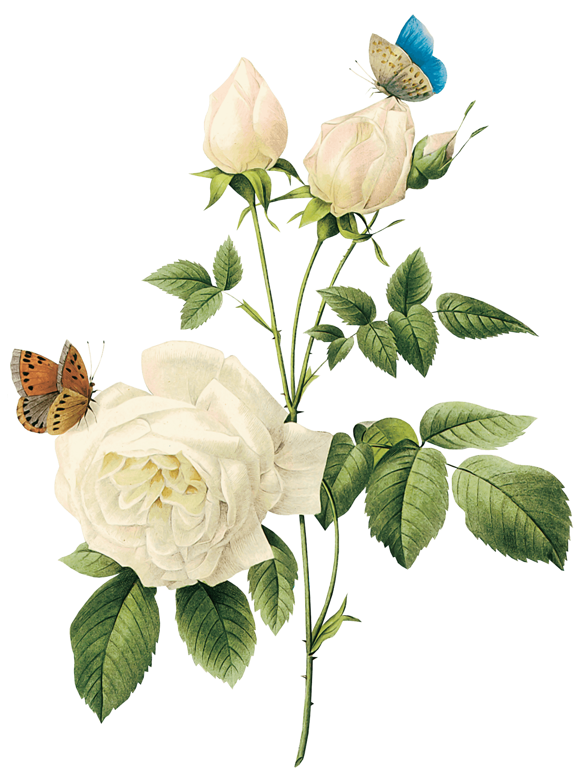 Download White Rose Png Image Flower White Rose Png Picture HQ PNG Image   FreePNGImg