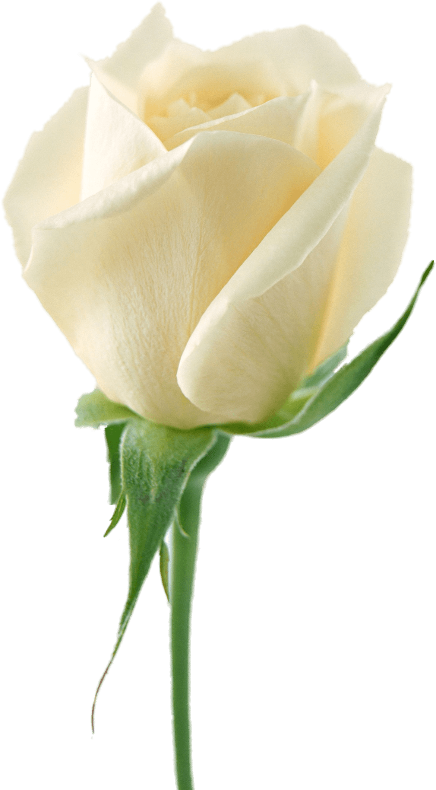 Download White Rose Png Image Flower White Rose Png Picture Hq Png