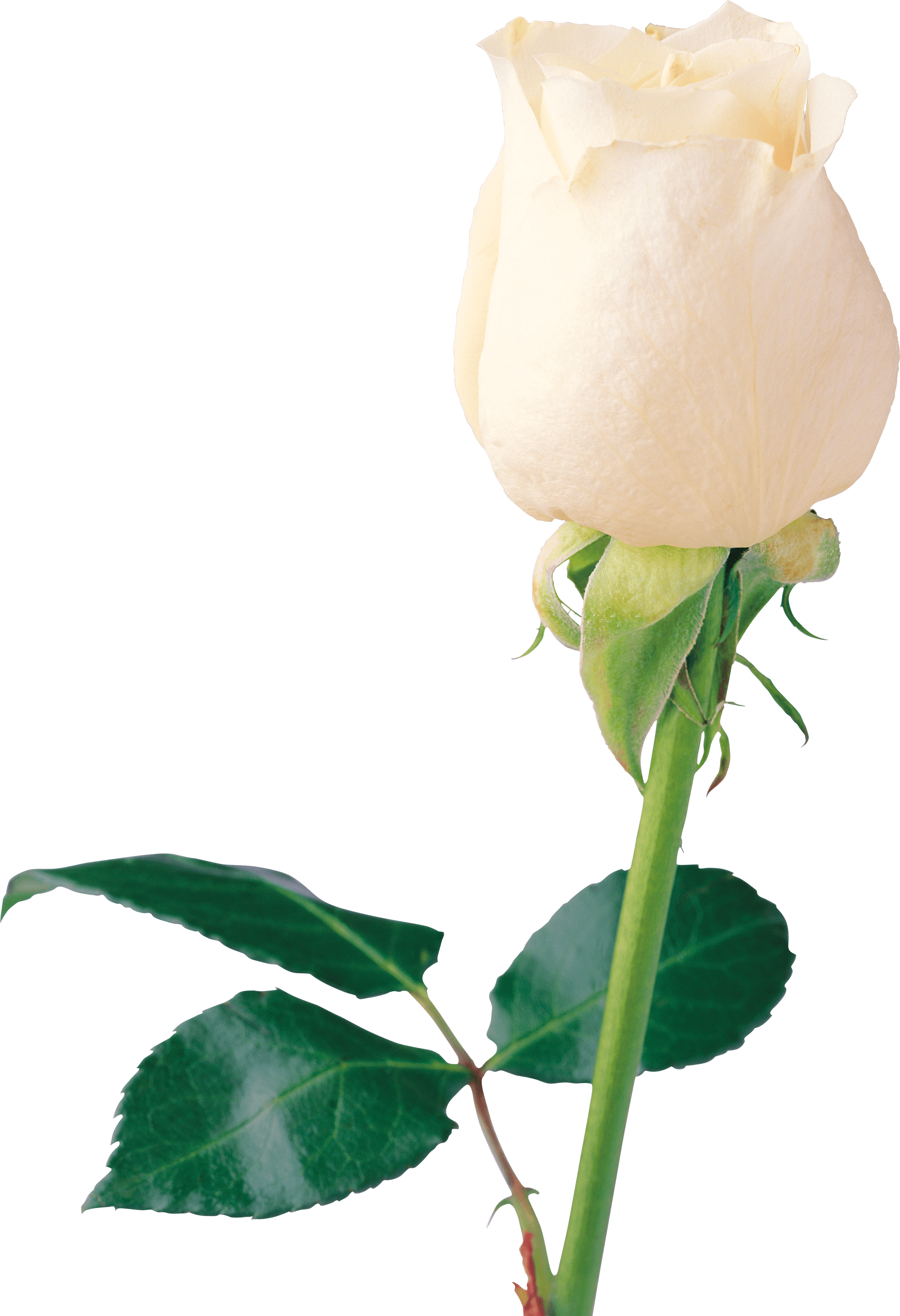 Beautiful White Rose PNG Image