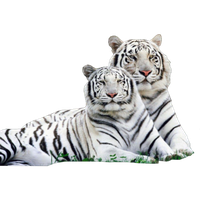 Download White Tiger Png Picture HQ PNG Image | FreePNGImg
