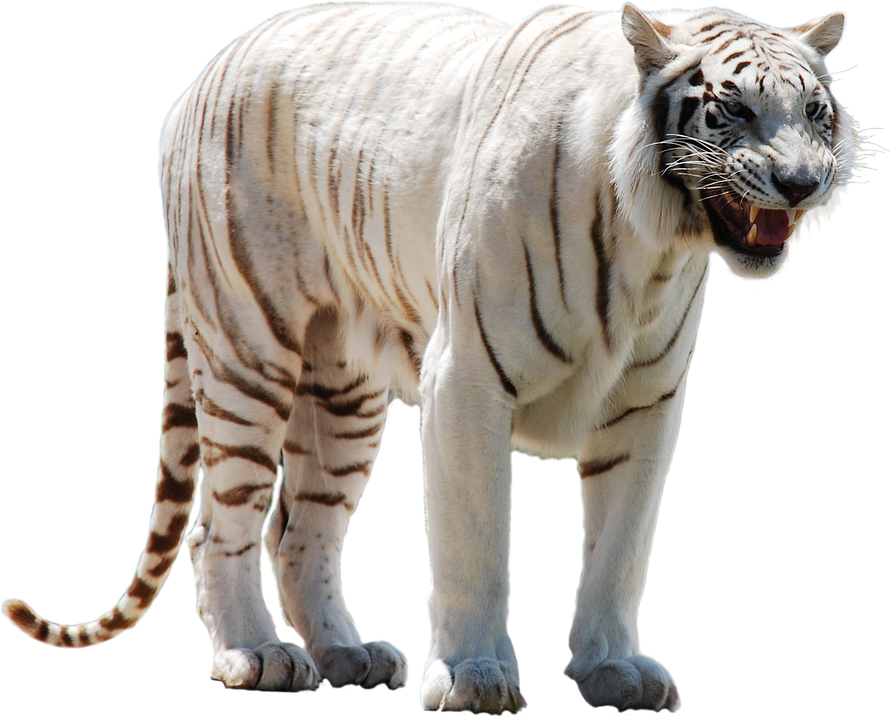White Tiger Png Clipart PNG Image